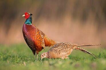 Заказать кфс в бишкеке - Кыргызстан: Принимаю заказ на яйца фазанов апрель май июнь также на птенцов май