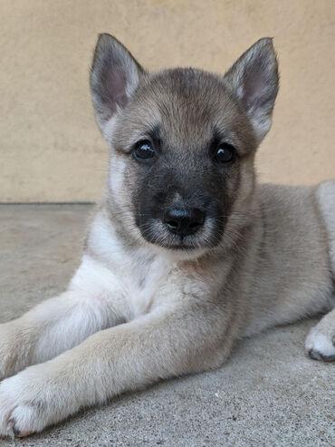 Pas - Srbija: Na prodaju štenad zapadno sibirske lajke oštenjeni 09.07.2020.Vakcini