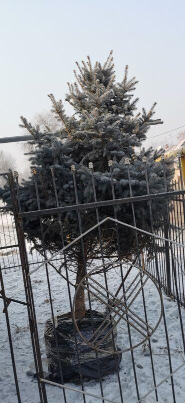 продажа семена в Кыргызстан: Продаю голубую тяньшанскую ель. 2.5 метров