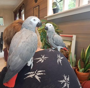 Hand reared African Grey σε Central & West Suburbs