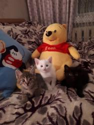 Коты - Кыргызстан: Друзья внимание!!! Кто уже давно мечтал об игривых, ласковых котятах