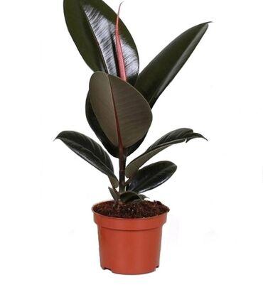 Комнатный цветок Фикус Эластика Абиджан (черный принц)