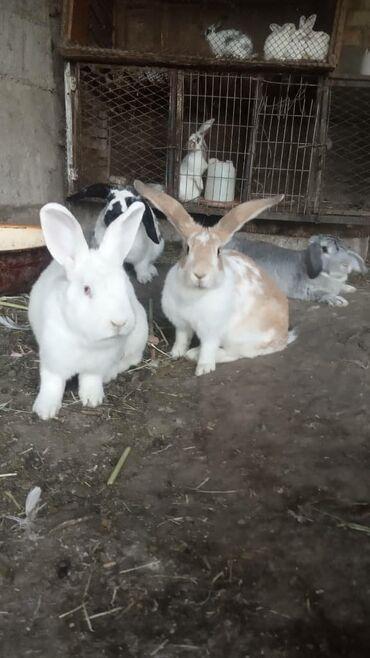 42 объявлений | ЖИВОТНЫЕ: Продаю | Крольчиха (самка), Кролик самец, Крольчата | Фландр | На забой, Для разведения | Племенные
