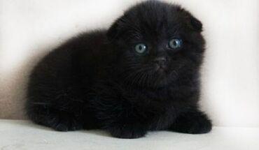 Животные - Бишкек: Продаю котёнка шотландская вислоухая, девочка, ходит в лоточек, кушает