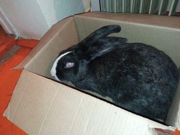 патроны 12 калибра цена в бишкеке в Кыргызстан: Кролик цена 1100
