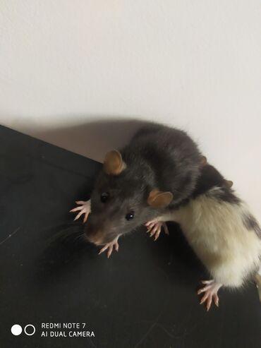 Домашние крысы .2 самца