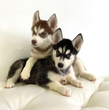 Siberian Huskies puppies Both genders available, vaccinated and wormed