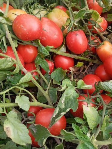 Семена и уличные растения - Сокулук: Помидор новичок . цена договорная. есть 10 гектаров