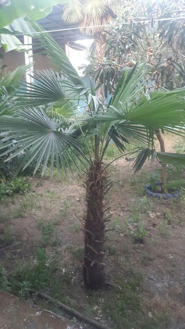 Gəncə şəhərində 17 illik palma ağacları Gəncə