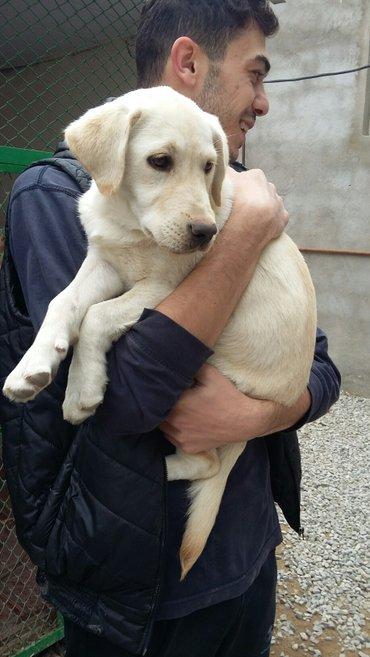 Bakı şəhərində labrador retriever balası satılır 3 ay yarımlıq dişi