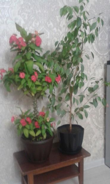 комнатный-цветы в Кыргызстан: Продаю цветы малачай 2000,фикус один из видов 1300с,и кит.роза 1700
