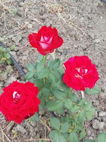 Kuća i bašta - Odzaci: Čajevka crveno bele boje, raste do 1m