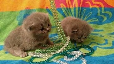 Bakı şəhərində Шотландские котята от Элитных