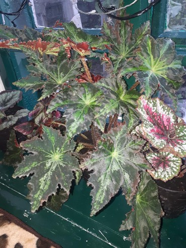 цветы и котика в Кыргызстан: Продаю комнатный цветок экзотическую трех-цветную бегонию. Посажен в