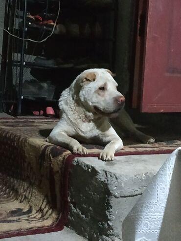 Животные - Манас: Приблудилась собака, вроде породистая. Ищу хозяина или отдам в добрые