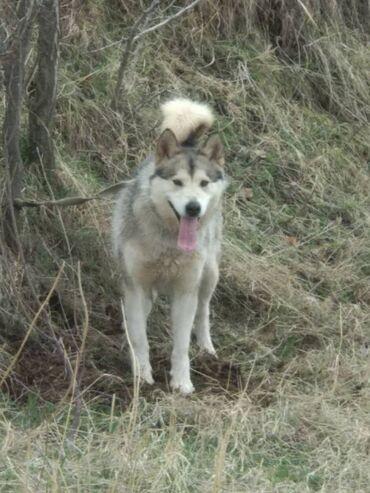 Продается собака породы Аляскинский Маламут, не путать с хаски!