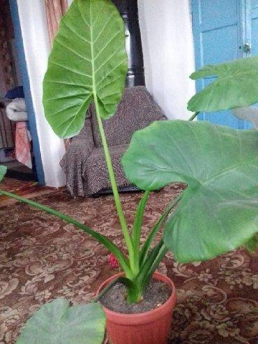цветок для офиса в Кыргызстан: Большой и шикарный цветок. Для дома и офиса