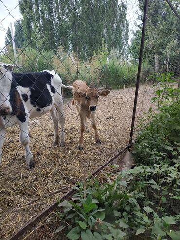 Животные - Мыкан: Продаю   Телёнок   Швицкая   Искусственник