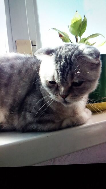 британский короткошерстный котенок в Кыргызстан: Продаётся Британская вислоухая кошка около года, очень ласковая