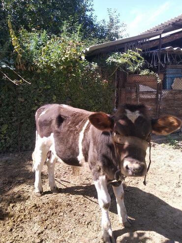 С/х животные - Кок-Ой: Продаю бычков 6-7 месяцев  Только звонить!