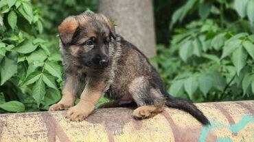 немецкие наушники в Кыргызстан: Чистокровные щенки немецкой овчарки. Отец - служебный пес Таможенной
