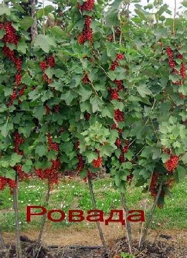 Смородина свежезамороженная - Кыргызстан: Красная смородина Ровада (Голландия) Рассада