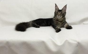 Продаётся котенок породы мэйн кун. в Лебединовка