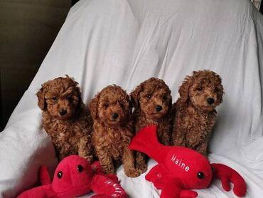 Πωλούνται όμορφα κουτάβια νάνων από poodle,γεννήθηκε στις 6
