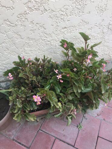 Другие комнатные растения - Кыргызстан: Продаю цветы дом. Герань бегонии, коланхое, женс, счастье и мн