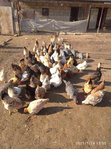 Животные - Ширван: Salam super damazliqa furset saqolam yuz faiz tebi kend toyuqlari