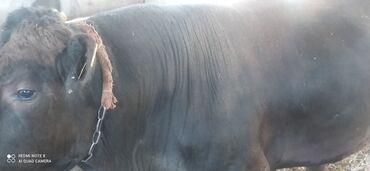 Животные - Ананьево: Продам 2 двух быков ангуса и герефорда. Ангусу 2,6года. Герефорда 2 го