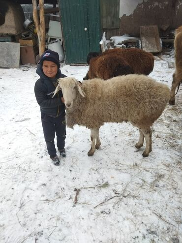 С/х животные - Кыргызстан: Кочкор сатылат
