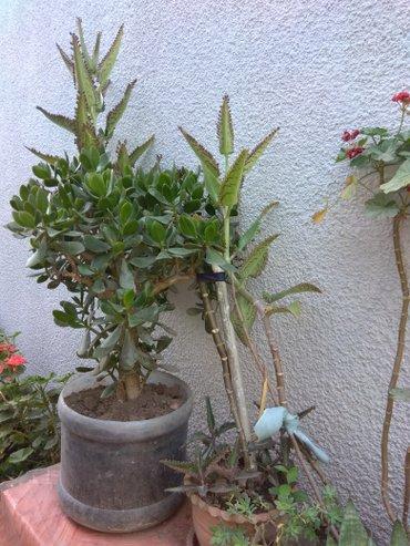 Продаю комнатные растения, выращенные в Бишкек