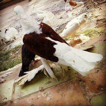 Животные - Саатлы: SATILIR maya Qirmizi cep cavan quwdu 30 manata Bakiya 20 yanvara Ve