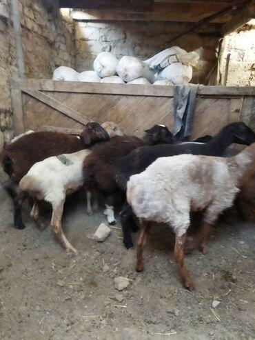 Животные - Каинды: На зарез и на племя продаю ярок и двух кочкорчиков . В общем 8 голов