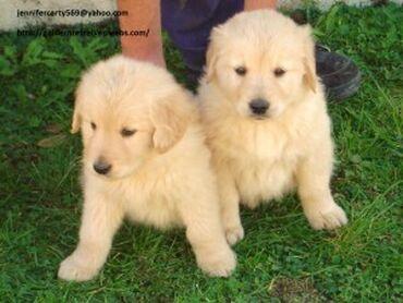 Κουτάβια Golden RetrieverΈχουμε δύο κουτάβια Golden Retriever για να