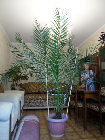 Пальма финиковая. Высота 2 м. Виталий