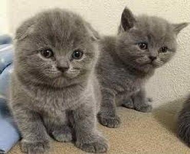 Готовятся к продаже шотландские котята. Родились 20 июня. Все вопросы