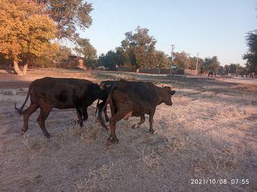18 объявлений   ЖИВОТНЫЕ: Продаю   Корова (самка)   Алатауская   Для молока   Стельные