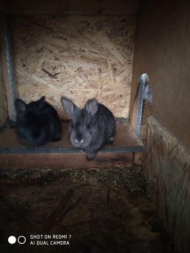 Гиссарская порода овец - Кыргызстан: Продаю кролики  Порода микс  Возраст 1 месяц