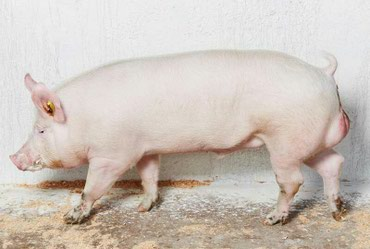 Осеменение свиней с доставкой кабана. Кабаны мясной породы - 300 кг
