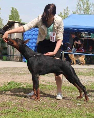 Предлагается для вязки кобель породы в Бишкек