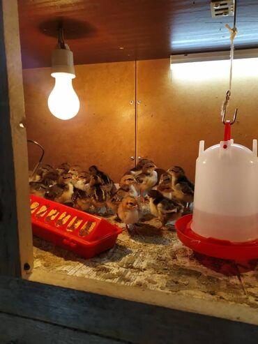 Продам породистых цыплят доминантов чёрно пёстрые, голубые, красный