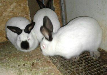 Продаю чистокровных калифорнийских кролов. Родители завезены загранице в Бишкек