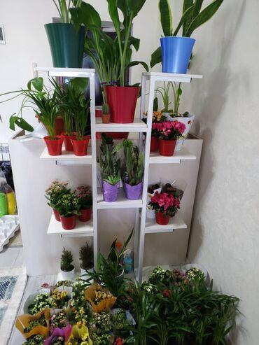 Комнатные растения - Кыргызстан: Цветочки каланхоэ, долларовое дерево, пальма,азалия