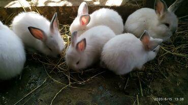 Gəmiricilər - Sumqayıt: Cins dovşanlardır. Saxlanmalı bəslənməli. Zəng vasitəsilə əlaqə