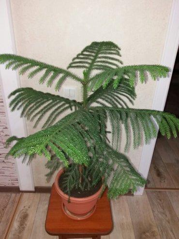 продается  декоративная разнолистная араукария,4года  растение,привезл в Бишкек