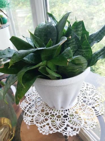 растение-комнатная в Кыргызстан: Сансевьера,здоровое крепкое растение, готовое к рассаживанию 250сом