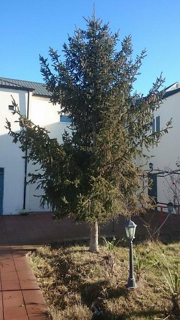 Bakı şəhərində Kreml şam ağaçı satilir.Hündürlüyü 6 metr. Aşagı budaqları vurulub,
