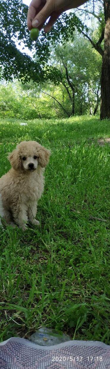 Продаю щенка карликого пуделя3 месяца  Цена 3500 с